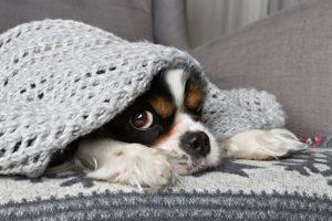 dog-under-blanket